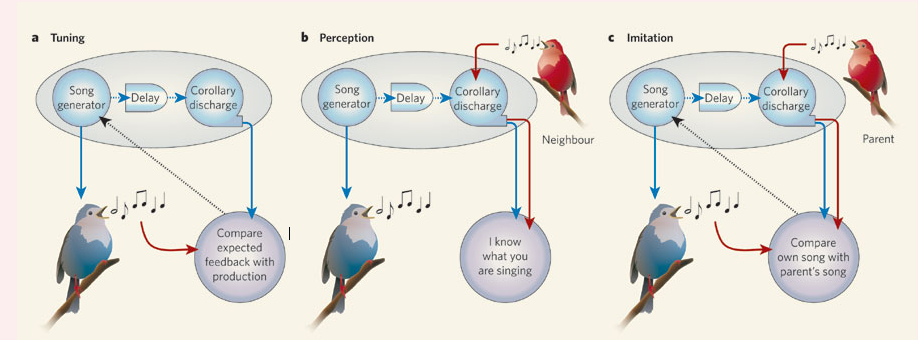 Deric 39 s mindblog songbirds also have mirror neurons for Mirror neurons psychology definition