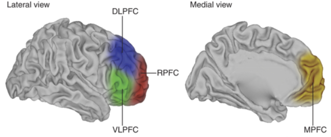 Deric\'s MindBlog: A primer on executive function in the prefrontal ...